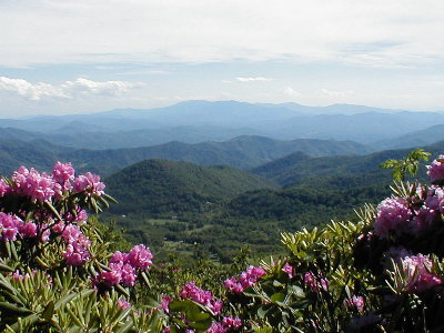 Roan Mountain Tennessee rhododendrons